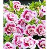 Baldur-Garten Zauberglöckchen ´´MiniFamous® Double PinkTastic´´,3 Pflanzen