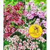 Baldur-Garten Duft-Geranie ´´Moskito-Schocker®´´,3 Pflanzen