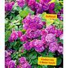 Baldur-Garten Rambler-Rose ´´Himmelsauge´´ 1 Pflanze