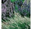 Scented Lavender Collection 6 XLarge Plants