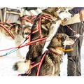Dragråttan Nome Sele, 7