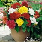Begonie Grandiflora Mischung - 5 Stück