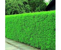 Liguster hæk (Ligustrum vulgaris ´Liga´) 100-120 cm