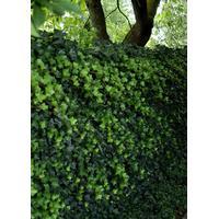 Storbladet Efeu Potte 2,0 liter,- 3 bambusstokke, opbundet 40-60 cm., Slyngplanter