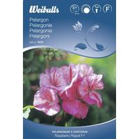Weibulls Raspberry Rippel F1 Pelargonie 6 pack
