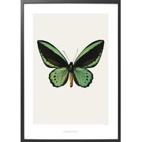Hagedornhagen Ornithoptera Priamus Radiance 42x59cm Affisch