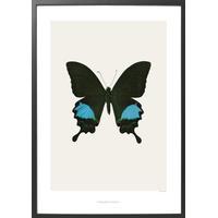 Hagedornhagen Papilio Paris Gedeensis 42x59cm Affisch