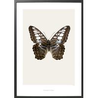 Hagedornhagen Parthenos Sylvia Lilacinus 70x100cm Affisch