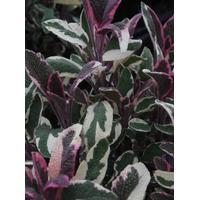SALVIA officinalis 'Tricolor' (Brogetbladet Salvie)