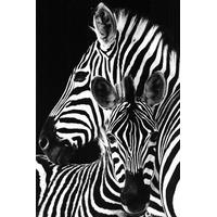 GB Eye Zebra PH0464