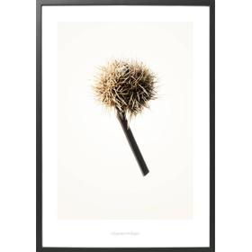 Hagedornhagen - fotografier og plakater fra naturens verden Hagedornhagen Plakat Gold G1 (A1 (70x100cm))