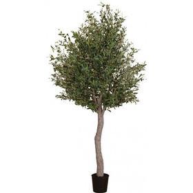 Oliventræ i potte H210 cm