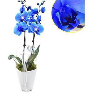 Orchidee im Topf mit blauen Blten