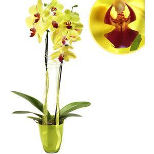 Orchidee im Topf mit gelben Blten