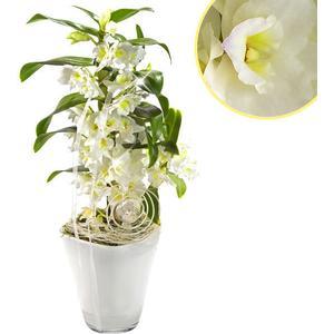 Asiatische Trauben-Orchidee im Topf