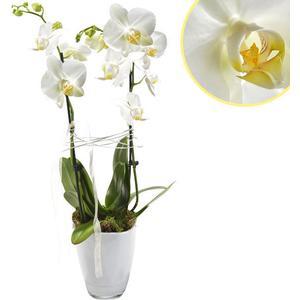Orchidee im Topf mit weien Blten