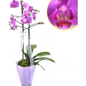 Orchidee im Topf mit pinken Blten
