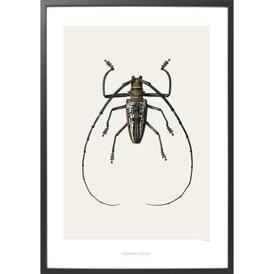 Hagedornhagen Batocera Wallacei 42x59cm Affisch